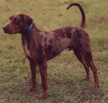 NALC/CCBA SH CH Wolf River's Beau Red