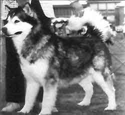Am/Can/Ber Ch. Inuit's Wooly Bully