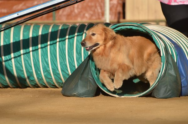 Golden retriever at Agility