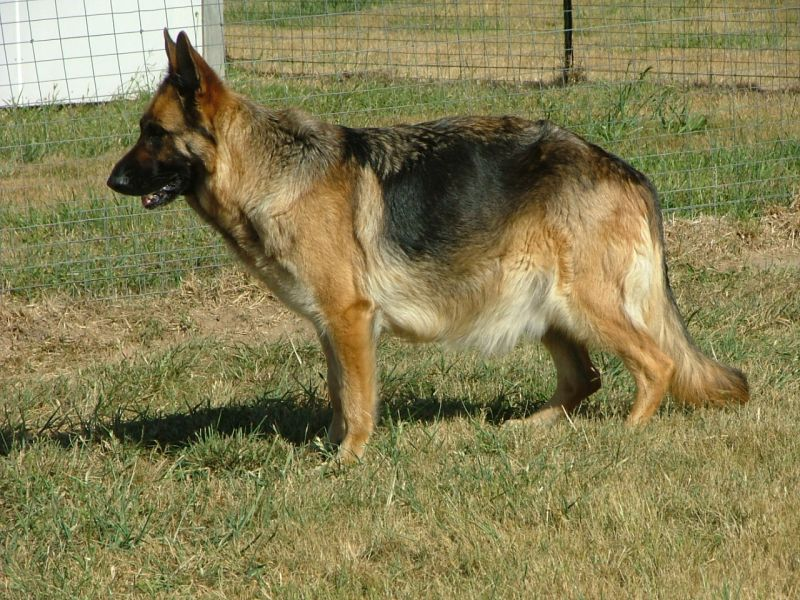 how to tell if they are pregant german shepherd dogs