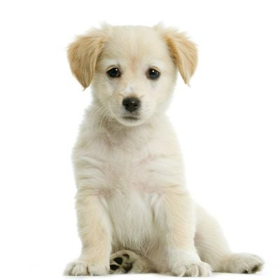Puppy Training: Raising the Perfect Puppy